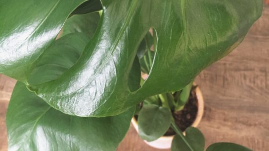 De mysteries van de Monstera (gatenplant)