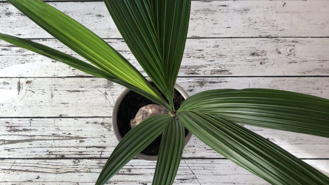 De kokos palm, een prachtige kamerplant