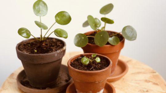 Alles over het pannenkoekenplantje!